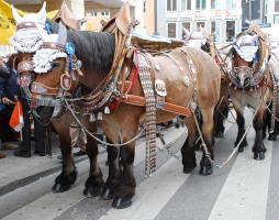 Laufen sich derzeit warm: Brauereipferde für die Wiesn